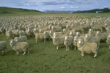 sheep_flock.jpg